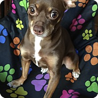 Miniature Pinscher Mix Dog for adoption in Lodi, California - Travis