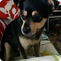 Adopt A Pet :: Anton - Sweet Black and Tan Cuddler - Seattle, WA