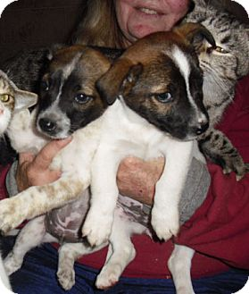 Jack Russell Terrier Mix Puppy for adoption in Mt. Laurel, New Jersey - Rooney
