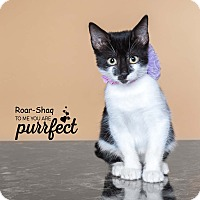 Domestic Shorthair Kitten for adoption in Houston, Texas - Roar-Shaq