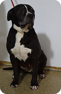 Pit Bull Terrier/Mastiff Mix Dog for adoption in Valparaiso, Indiana - Brenner