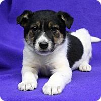 Adopt A Pet :: BETTINA - Westminster, CO