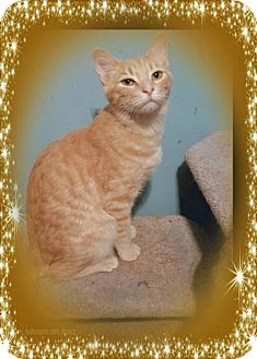 Domestic Shorthair Cat for adoption in Knoxville, Tennessee - Grady