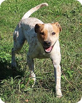 Pointer/Australian Cattle Dog Mix Dog for adoption in Burbank, Ohio - Dotty