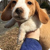 Adopt A Pet :: Baby Lyra - Rockville, MD