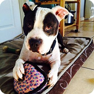 American Pit Bull Terrier Mix Dog for adoption in San Diego, California - Boswell