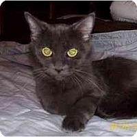 Domestic Shorthair Cat for adoption in Garland, Texas - Hannah