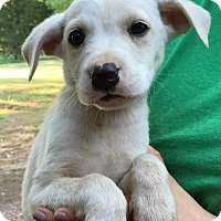 Adopt A Pet :: Charlie Brown - Starkville, MS