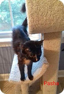 Calico Cat for adoption in McDonough, Georgia - Pasha
