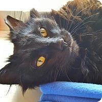 Adopt A Pet :: Kylo Ren - Salisbury, MA