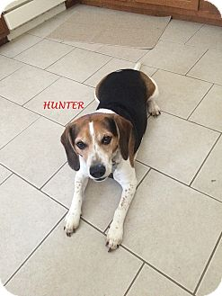 Beagle Dog for adoption in Ventnor City, New Jersey - HUNTER- Courtesy Posting