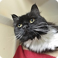 Domestic Longhair Cat for adoption in Salisbury, Massachusetts - Tina