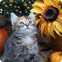 Domestic Mediumhair Kitten for adoption in Barrington, New Jersey - Waverly