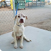 Pit Bull Terrier Mix Dog for adoption in California City, California - Gabrielle