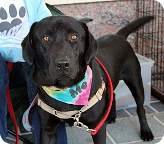 Labrador Retriever Mix Dog for adoption in Richmond, Virginia - Denver
