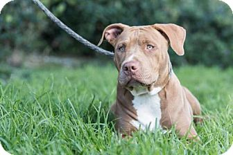 American Staffordshire Terrier Puppy for adoption in San Diego, California - Phantom