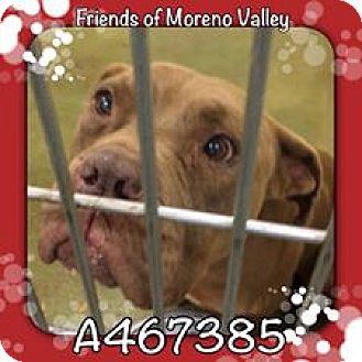 American Pit Bull Terrier Mix Dog for adoption in San Bernardino, California - MORK - URGENT! Moreno Valley