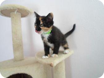 Domestic Shorthair Kitten for adoption in Montello, Wisconsin - Athena