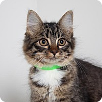 Domestic Mediumhair Cat for adoption in Edina, Minnesota - Queso C160376