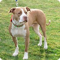 Adopt A Pet :: Scarlett - Gardnerville, NV