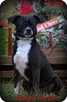 Boston Terrier/Chihuahua Mix Dog for adoption in Dixon, Kentucky - Thelma