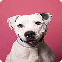 Staffordshire Bull Terrier Mix Dog for adoption in Houston, Texas - VENUS