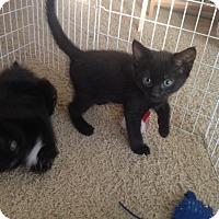 Domestic Shorthair Kitten for adoption in Bloomington, Minnesota - Starr