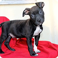 Adopt A Pet :: Boogie - Los Angeles, CA