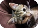 Domestic Shorthair Kitten for adoption in Clearfield, Utah - Tara