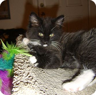 Domestic Longhair Kitten for adoption in Beverly Hills, California - Frodo