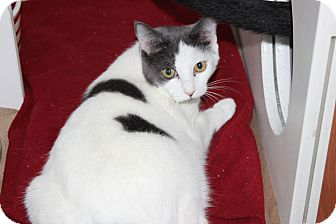 Domestic Shorthair Kitten for adoption in Secaucus, New Jersey - Luca