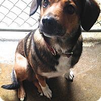 Adopt A Pet :: SASSY - Pompton lakes, NJ