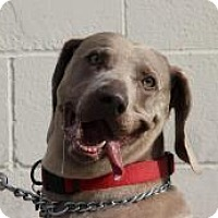 Adopt A Pet :: Stoney - Sun Valley, CA