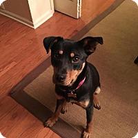 Adopt A Pet :: Pollyana - Little Rock, AR