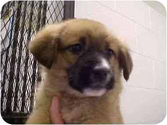 German Shepherd Dog/Husky Mix Puppy for adption in Spokane, Washington