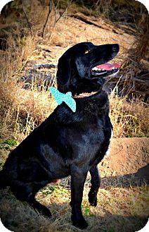 Labrador Retriever/Border Collie Mix Dog for adoption in Snyder, Texas - Roady