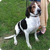 Treeing Walker Coonhound Dog for adoption in Seguin, Texas - Johnny Walker