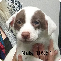 Adopt A Pet :: Nala - baltimore, MD