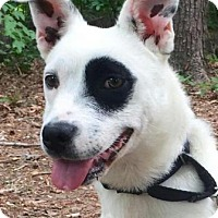 Adopt A Pet :: Patches - Brattleboro, VT