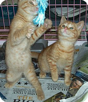 Domestic Shorthair Kitten for adoption in Questa, New Mexico - OB1 and OB2