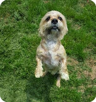 Terrier (Unknown Type, Small) Mix Dog for adoption in Little Elm, Texas - Bisquit