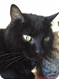 Domestic Mediumhair Cat for adoption in Boston, Massachusetts - ELSIE