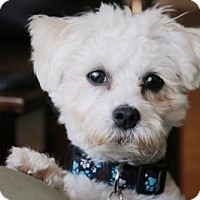 Adopt A Pet :: Chase - Los Angeles, CA