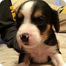 Adopt A Pet :: Baby Blue's pup Brady