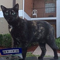 Domestic Shorthair Cat for adoption in Oakland Park, Florida - Poki