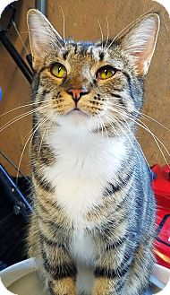 Domestic Shorthair Cat for adoption in Philadelphia, Pennsylvania - Stella