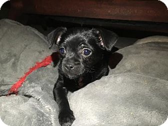 Pug/Chihuahua Mix Puppy for adoption in Los Angeles, California - Marvin