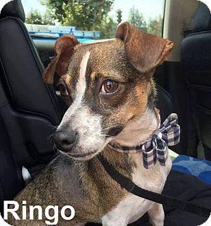 Jack Russell Terrier/Dachshund Mix Dog for adoption in Lake Forest, California - Ringo