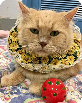 Persian Cat for adoption in St. Louis, Missouri - Fluffy