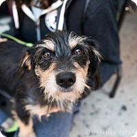 Adopt A Pet :: George Peppard - Brooklyn, NY